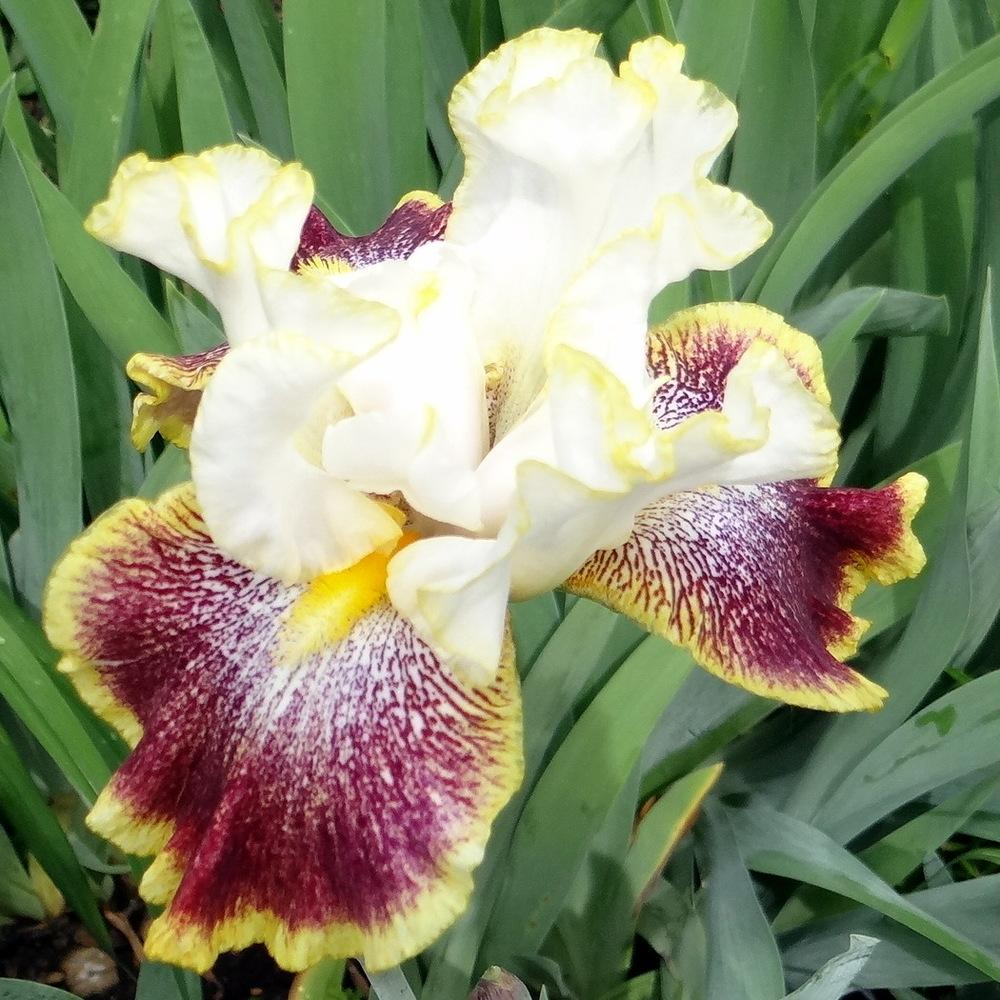Photo of Tall Bearded Iris (Iris 'Carnival Ride') uploaded by stilldew