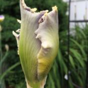 Location: My garden, central NJ, Zone 7ADate: 5/28/15Edging Details Evident in Bud Form