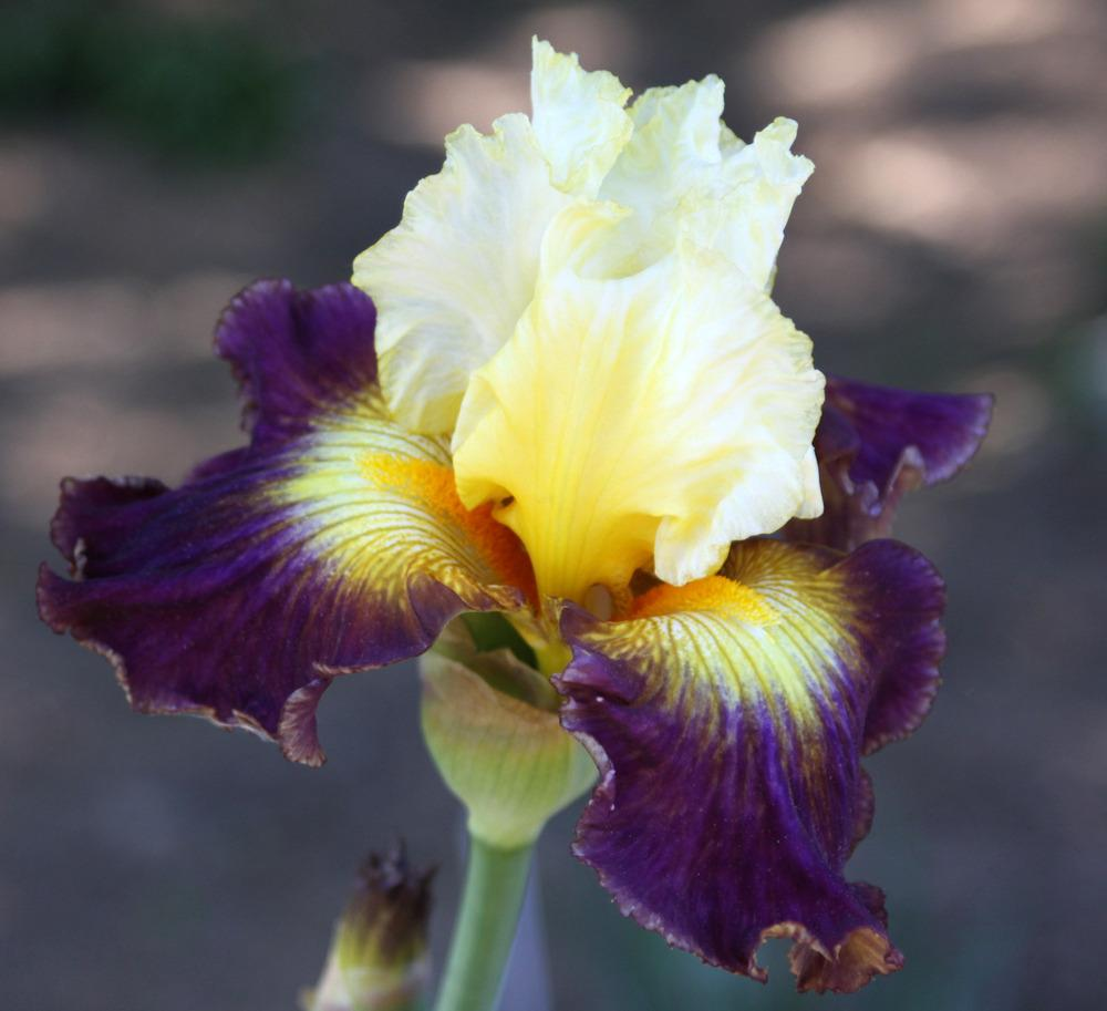 Photo of Tall Bearded Iris (Iris 'Fusion') uploaded by Snork