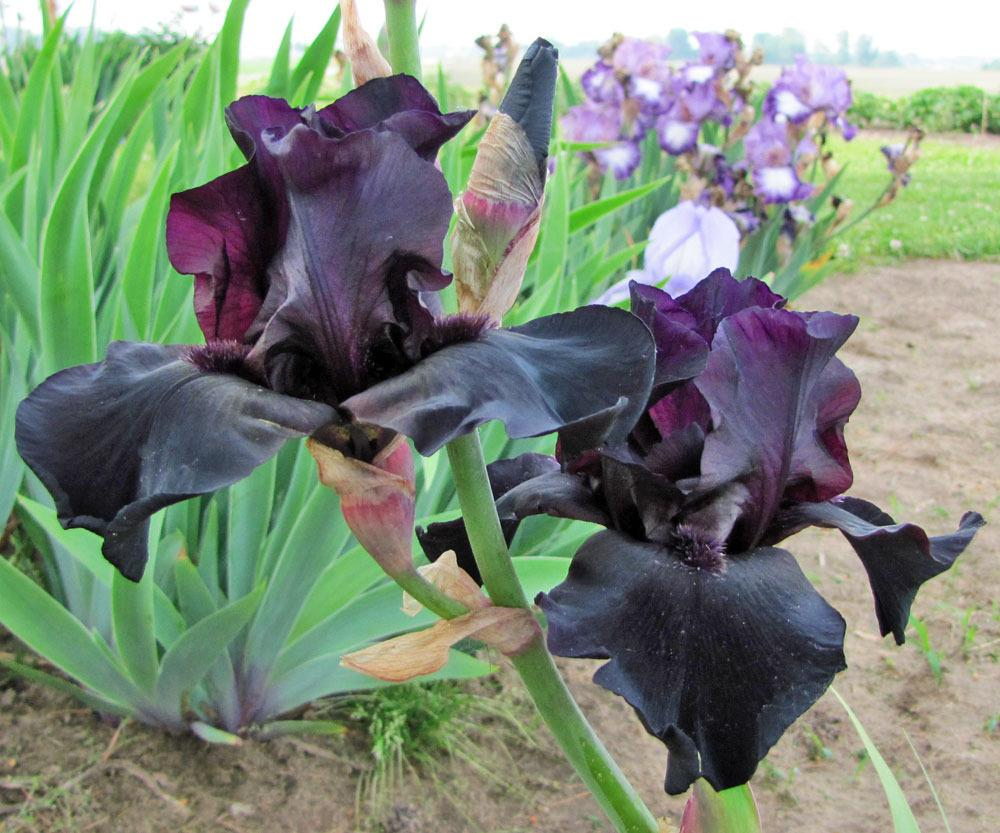 Photo of Tall Bearded Iris (Iris 'Before the Storm') uploaded by TBGDN