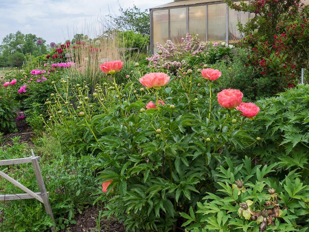Photo Of The Entire Plant Of Peony Paeonia Pink Hawaiian Coral
