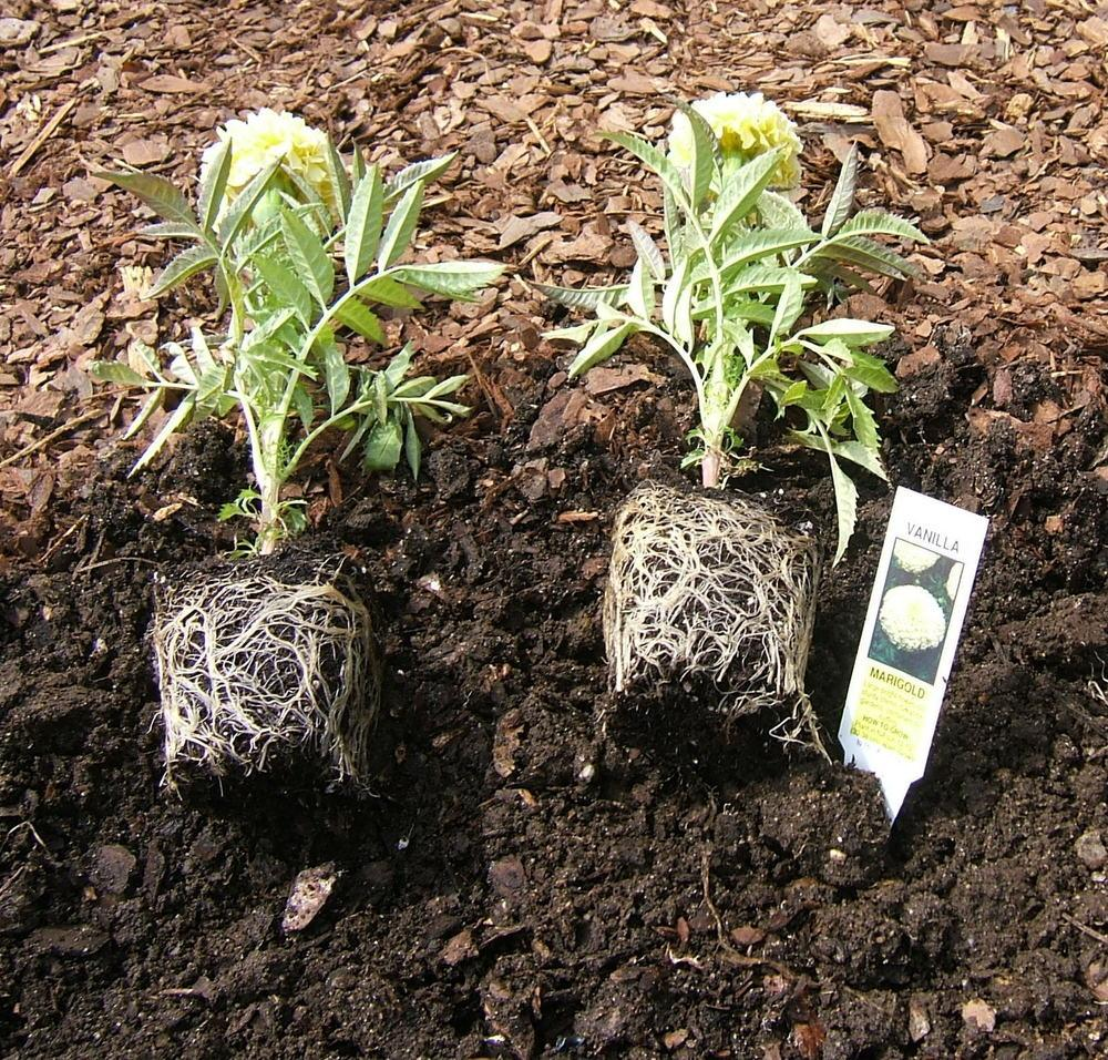 Photo of the roots of African Marigold (Tagetes erecta ... Marigold Plant With Roots
