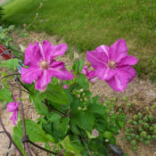 "Location: Clinton, Michigan 49236Date: 2015-05-31""Clematis 'Sprinkles', 2015, Queen of the Vines [Clematis], KLEM-"