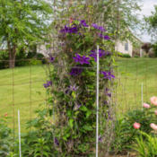 "Location: Clinton, Michigan 49236Date: 2015-05-31""Clematis 'The President', 2015, Queen of the Vines [Cl"