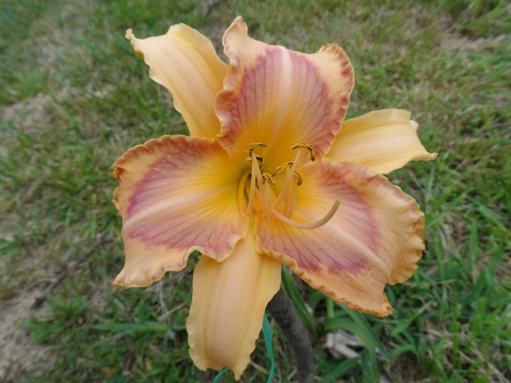 Photo of Daylilies (Hemerocallis) uploaded by hazeleyes