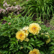 "Location: Clinton, Michigan 49236Date: 2015-06-01""Paeonia x (Itoh) 'Garden Treasure', 2015, [Peony] (3-S"