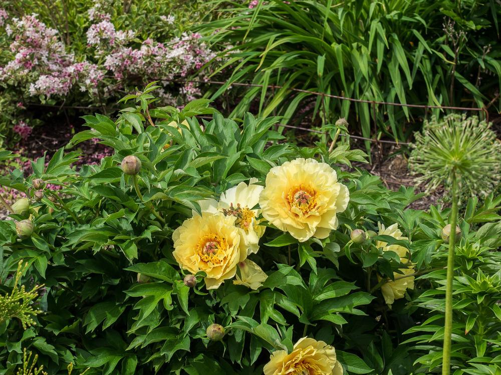 Photo Of The Entire Plant Of Intersectional Peony Paeonia Garden