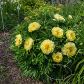 "Location: Clinton, Michigan 49236Date: 2015-06-01""Paeonia x (Itoh) 'Bartzella', 2015, [Peony] (3-SD-Y) I"