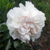 Location: TwispDate: 2015-05-31Unknown white cultivar with a pale pink blush