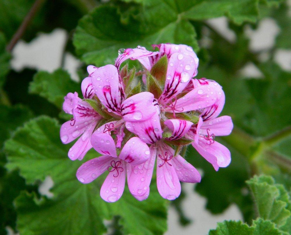 Photo of Scented Geranium (Pelargonium graveolens 'Chicago Rose') uploaded by wildflowers