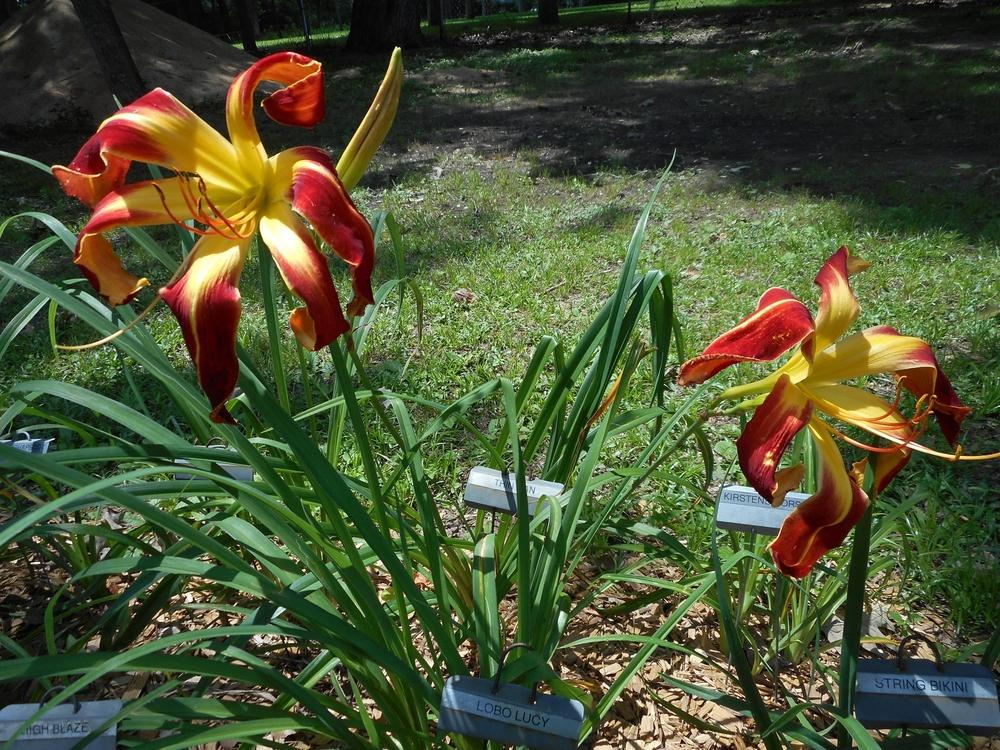 Photo of Daylily (Hemerocallis 'Thin Man') uploaded by Kabby