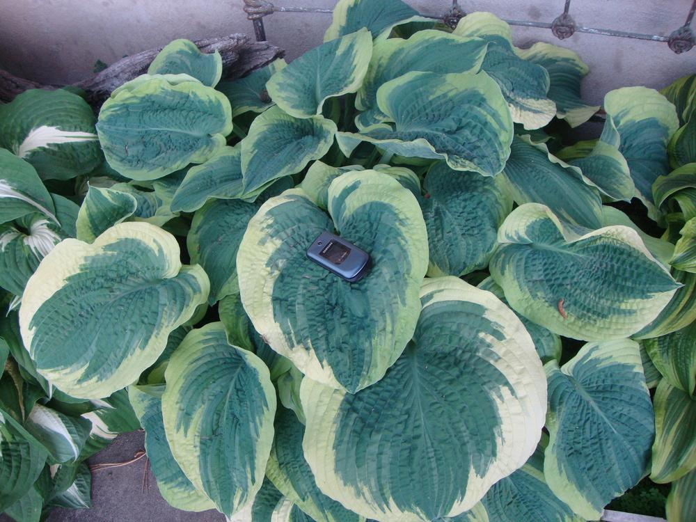 Photo of Hosta 'American Halo' uploaded by Paul2032