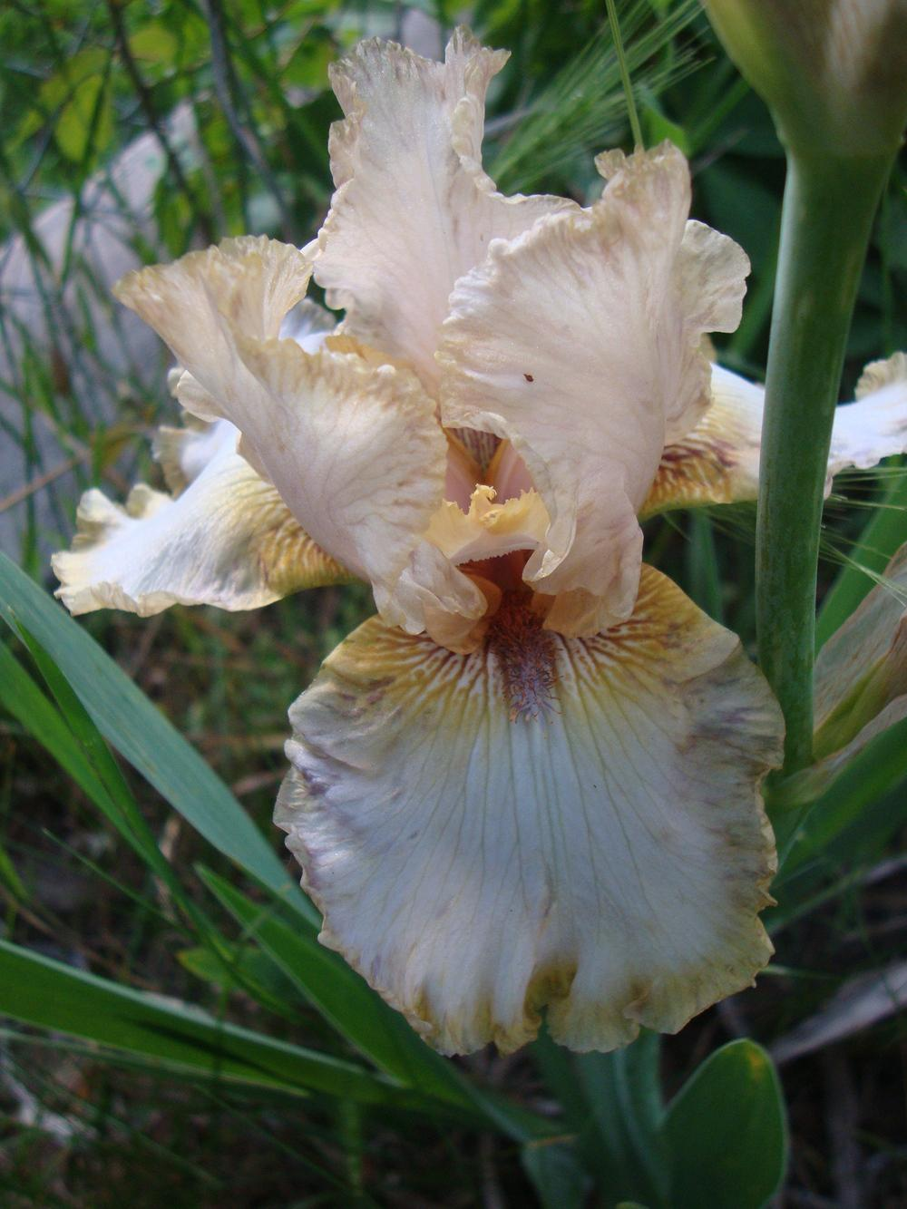 Photo of Tall Bearded Iris (Iris 'Nancy Glazier') uploaded by Paul2032