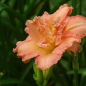 Location: Southeast AlabamaDate: 2015-05-31Dublin Elaine, a fancy lovely apricot daylily!