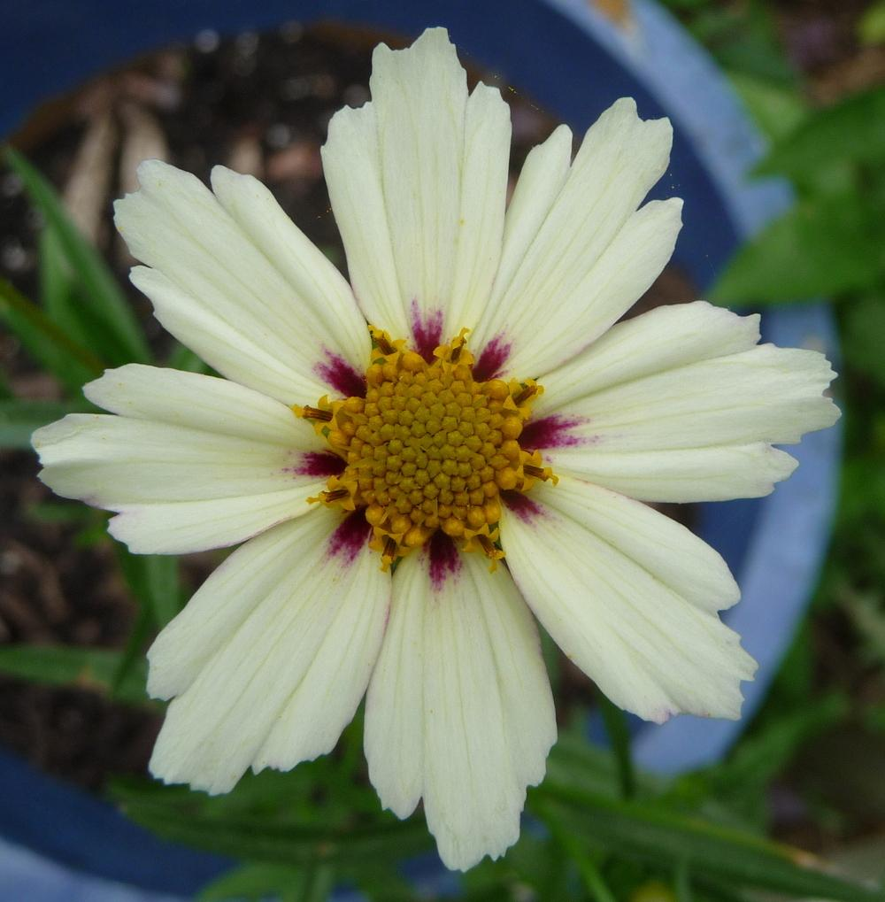 Photo of Coreopsis Big Bang™ Star Cluster uploaded by gardengus