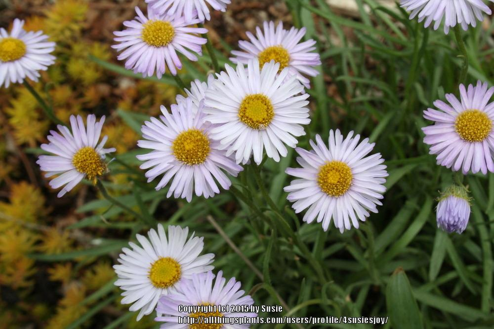 Photo of Rockslide Fleabane (Erigeron leiomerus) uploaded by 4susiesjoy