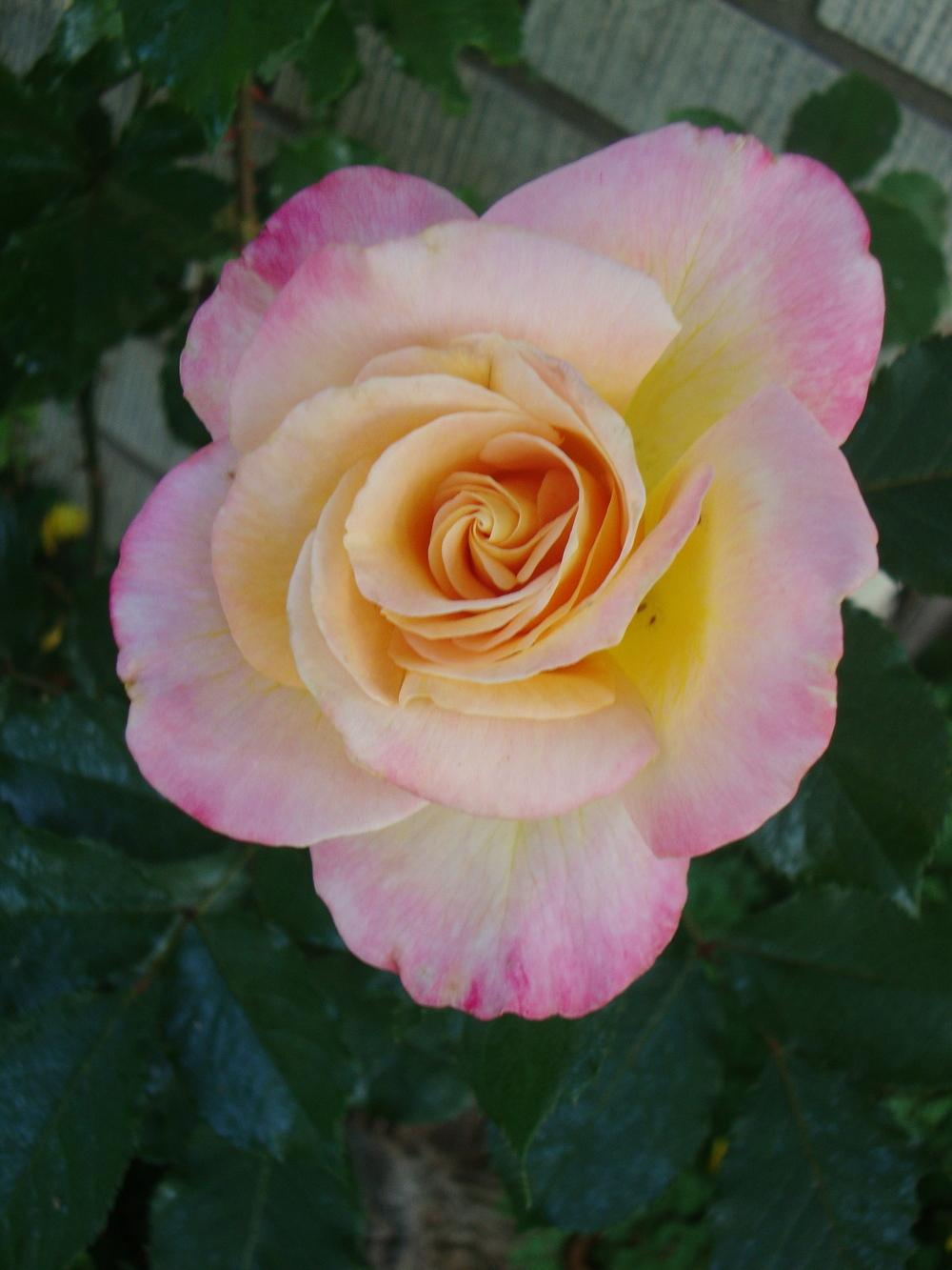 Photo of Rose (Rosa 'Granada') uploaded by Paul2032
