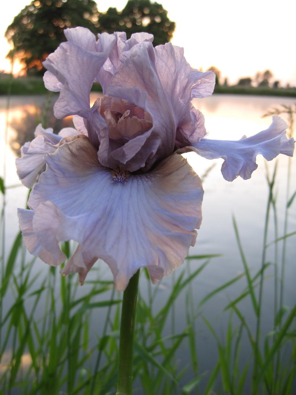 Photo of Tall Bearded Iris (Iris 'Dancing Ghost') uploaded by barashka
