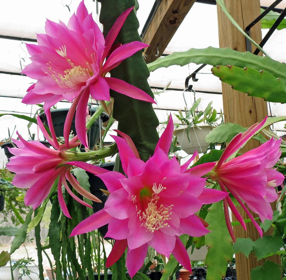 Flower Photograph Orchid Cactus Epiphyllum By Brian Tada