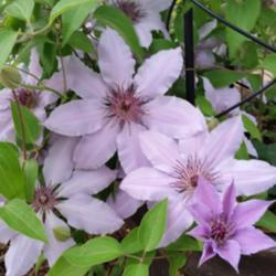 Clematis in Containers
