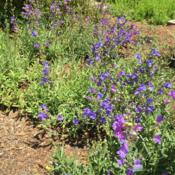 Location: Hamilton Square Perennial Garden, Historic City Cemetery, Sacramento CA.Date: 2015-06-04We let unfamiliar seedlings grow and bloom to ID them a