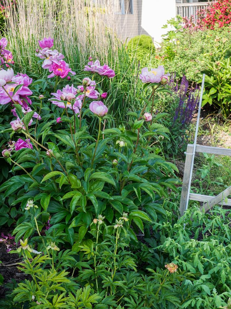 Photo of Japanese Peony (Paeonia lactiflora 'Westerner') uploaded by frankrichards16