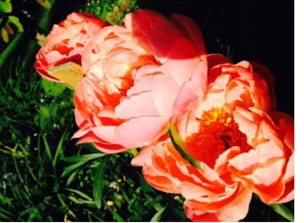 Photo of Garden Peony (Paeonia 'Coral Charm') uploaded by obliqua