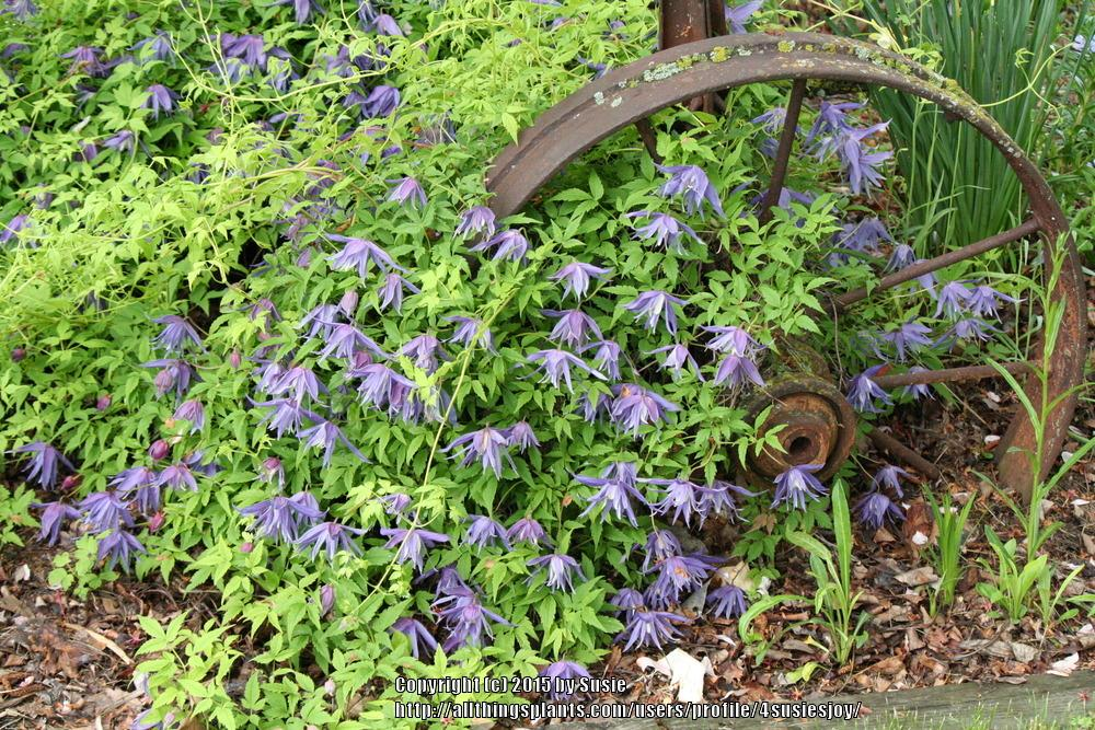Photo of Clematis (Clematis macropetala 'Maidwell Hall') uploaded by 4susiesjoy
