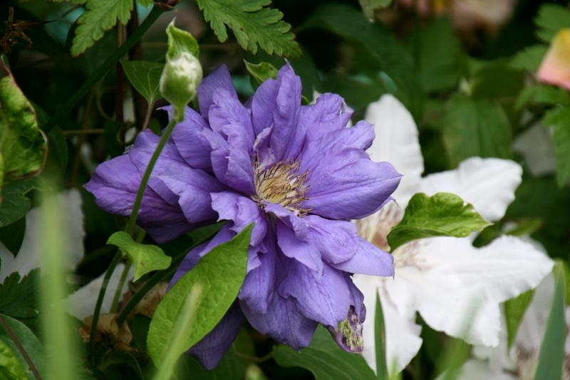 Photo of Clematis Franziska Maria™ uploaded by Calif_Sue