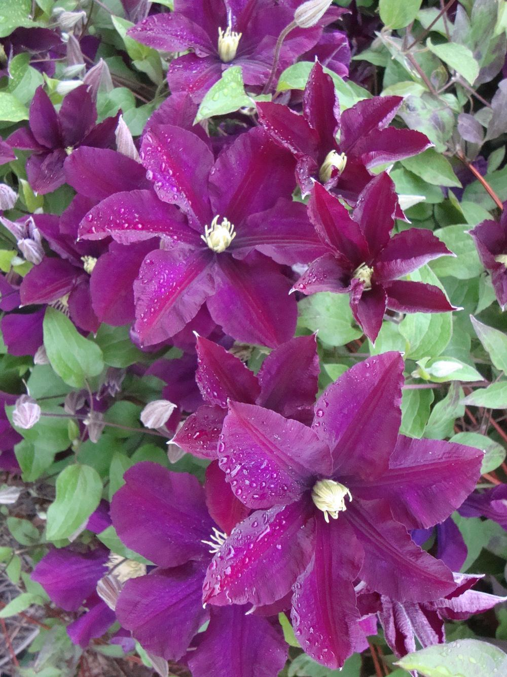 plant id forum clematis clematis viticella 39 etoile. Black Bedroom Furniture Sets. Home Design Ideas