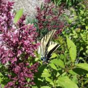 Location: Denver Metro CODate: 2015-06-01Tiger swallowtail butterfly didn't seem too bothered by me taking