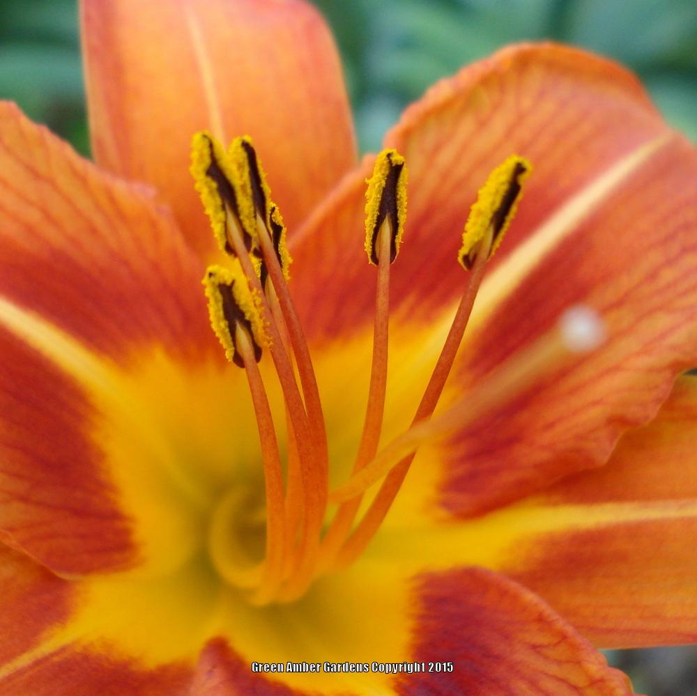 Photo of Ditch Lily (Hemerocallis fulva) uploaded by lovemyhouse