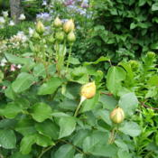 Location: Terrace garden, left sideDate: 2015-06-05Leaves and buds.