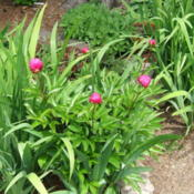 Location: Peony garden (part of Belmont garden) full sunDate: 2015-06-04