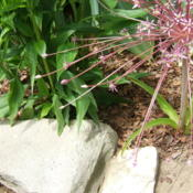 Location: Belmont Iris garden - full sunDate: 2015-06-04