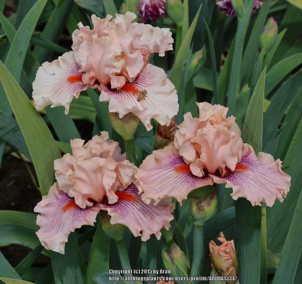 Photo of Tall Bearded Iris (Iris 'Center Line') uploaded by ARUBA1334