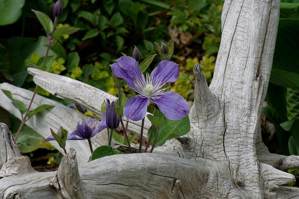 Photo of Clematis 'Arabella' uploaded by dirtdorphins