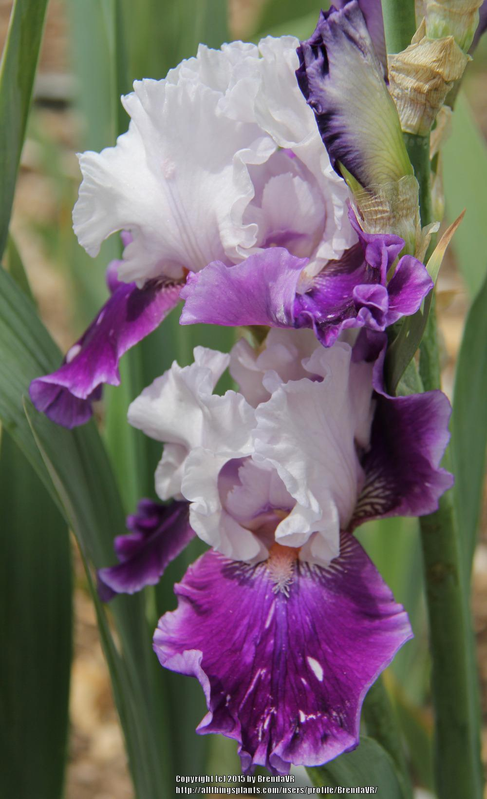 Photo of Tall Bearded Iris (Iris 'Hold and Behold') uploaded by BrendaVR