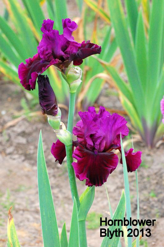 Photo of Tall Bearded Iris (Iris 'Hornblower') uploaded by coboro