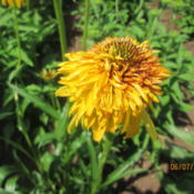 Location: HOME CONEFLOWER GARDENDate: 2015-06-07TALL, UNIQUE, VERY  COLORFUL...BLENDS WELL IN THE BACK...
