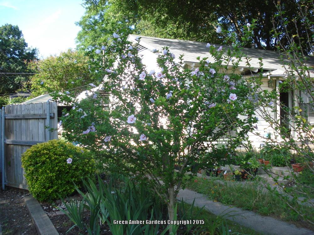 ask a question forum rose of sharon tree foliage and flowers suddenly dried up. Black Bedroom Furniture Sets. Home Design Ideas