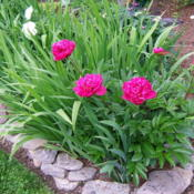 Location: Peony garden (part of Belmont garden) full sunDate: 2015-06-07