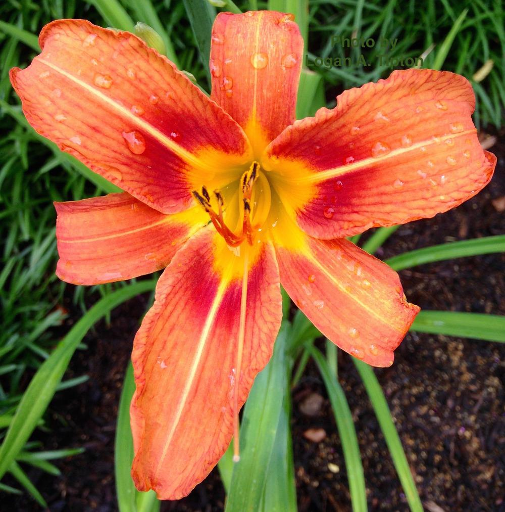 Photo of Ditch Lily (Hemerocallis fulva) uploaded by tiptonla