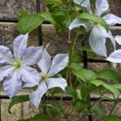Location: Zone 5Date: 2014-06-22 This plant appeared out of nowhere, next to my Jackmani Clematis,