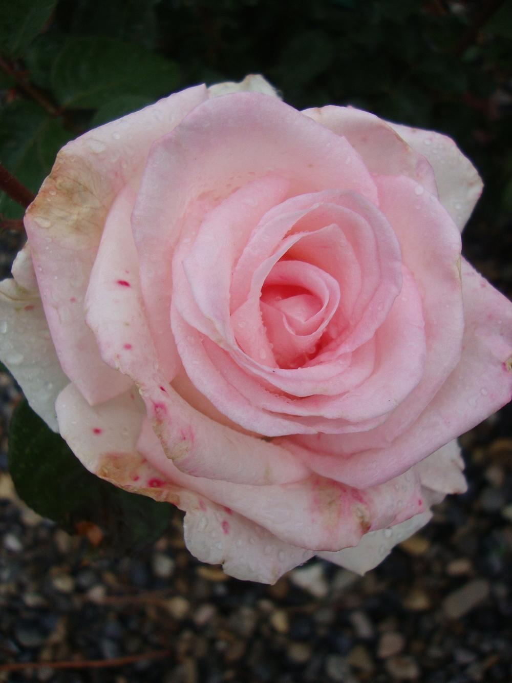 Photo of Rose (Rosa 'Pink Promise') uploaded by Paul2032