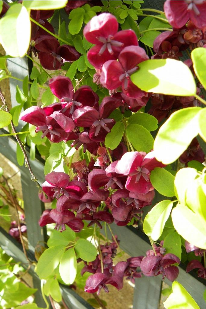 Photo of Five-Leaf Chocolate Vine (Akebia quinata) uploaded by admin