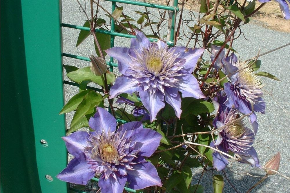 Photo of Clematis 'Multi Blue' uploaded by admin