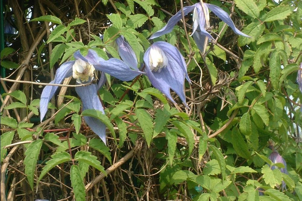 Photo of Clematis (Clematis alpina 'Frances Rivis') uploaded by admin