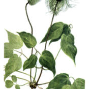 Clematis columbiana Southwest School of Botanical Medic