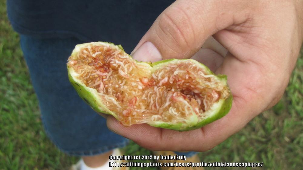 Photo of Edible Fig (Ficus carica 'Atreano') uploaded by ediblelandscapingsc